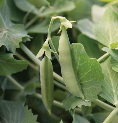 David's Garden Seeds Pea Sugar Sprint (Green) 100 Non-GMO, Open Pollinated Seeds
