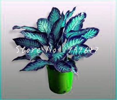 100個/袋盆栽アグラオネマプランタ多年生常緑木の花盆栽観葉植物ホームガーデン耐放射線鉢植え:1