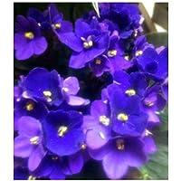 Violeta africana o saintpaulia (maceta 12 cm ø) (Azul)