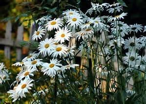 Chrysanthemum Maximum- Shasta Daisy 500 Seeds-GMO (Shasta Daisy Germination)