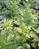 Artemisia vulgaris 'Janlim' ORIENTAL LIMELIGHT