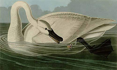 JH Lacrocon John James Audubon - Trumpeter Swan Canvas Wall Art 60X35 cm(ca. 24X14 inch) - Birds Paintings Reproduction Print Rolled ()