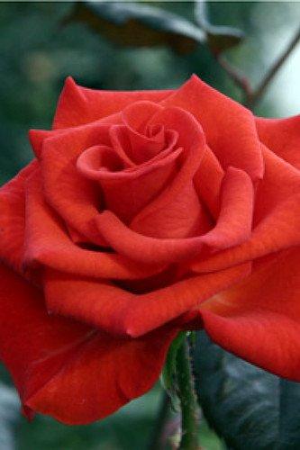 """UPC 612068962734, Powerhouse My Bouquet Rose Bush - Disease Resistant - 4"""" Pot"""