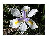 Flowers Seeds Wild iris Fairy iris dietes grandiflora 10 Seeds