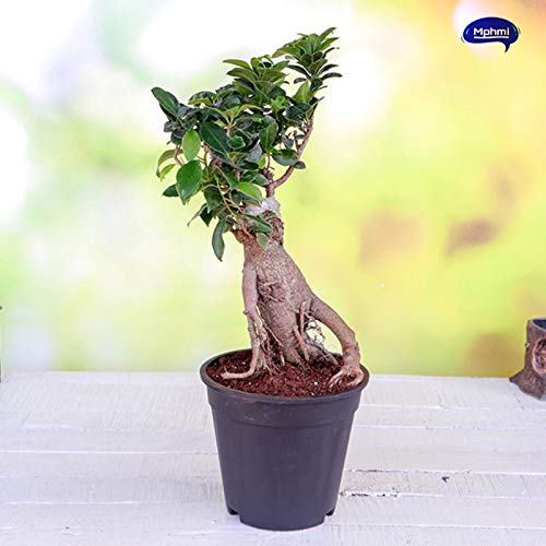 Amazing Store Mphmi Ficus Bonsai Plant Amazon In Garden Outdoors