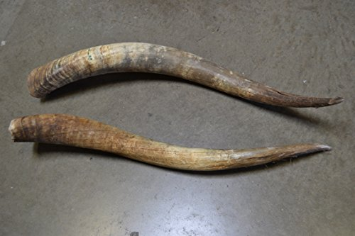 Two Cow Horns - 1