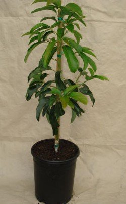 reed-avocado-tree-will-arrive-between-3-and-4-feet-tall