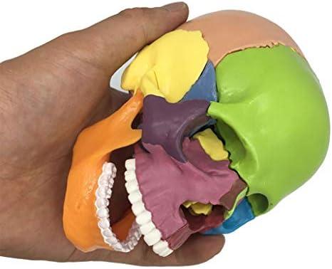 Didactisch menselijk model, levensgroot geverfd medisch anatomisch schedelmodel, gegoten uit natuurlijk specimen voor artsenbureau Educatief 15 delen