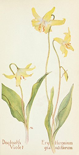 Dogtooth Violet - Posterazzi Western Wild Flowers 1915 Dogtooth Violet Poster Print by M. Armstrong, (18 x 24)