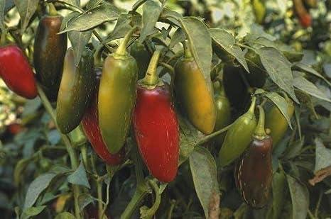 Seekay Pimiento Picante - Jalapeño - 40 Semillas: Amazon.es: Jardín