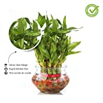 Nurturing Green Lucky Bamboo Two Layer Round Glass Pot (Small:2 Layer Bamboo)