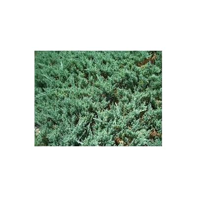 10 Plants of Blue Pacific Juniper Liners, Excellent Ground Cover, Prevents Soil Erosion on Slopes, : Garden & Outdoor