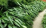 Indocalamus Tessellatus, Cold Hardy Tropical Bamboo Plant, up to 2' Long Leaves