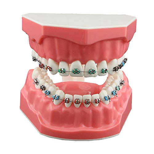 Top orthodontic typodont for 2019
