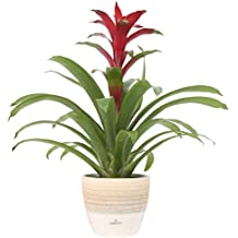 Costa Farms Guzmania, Red Bromeliad, Live Indoor Plant, 18 to 24-Inches Tall, Ships in Scheurich Ceramic Planter, Fresh From Our Farm, Excellent Gift or Home Décor