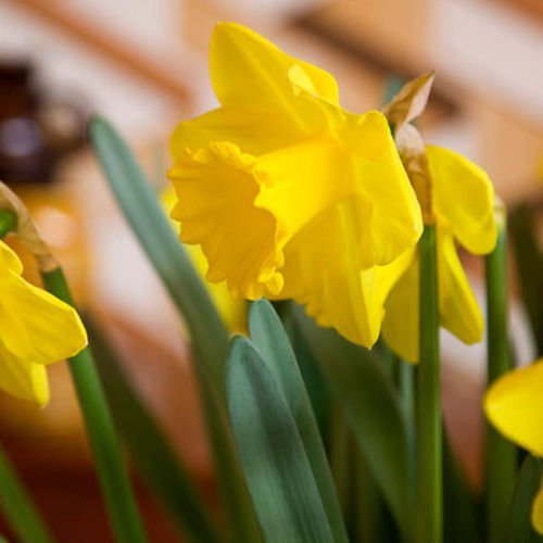Daffodil - (6 Bulbs) Narcissus King Alfred ,Deer and rodent proof Perennial ()