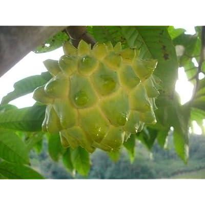 Rollinia Deliciosa - Biriba - Rare Tropical Plant Tree Seeds (6) : Garden & Outdoor