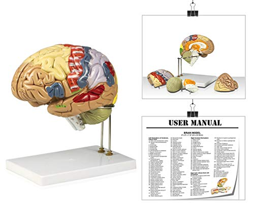 Vision Scientific VAB400 Color-Coded Human Regional Brain - 4 Parts   Approximately 130 Key Structural Features are Identified   9 Vivid Colors to Identify The Different Brain Functions   W Key Card
