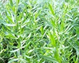 French Tarragon Live Herb Plant