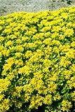 FARMERLY Seeds Package: Germination Seeds PLATFIRM-150 Seeds of Selsie W243 (Sedum Selskianum)