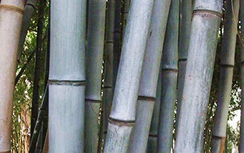 (100 Blue Grey Giant Bamboo Seeds Phyllostachys Nigra Henon USA Seller)
