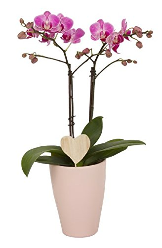 Color Orchids 1201PD2WWoodHeart Holiday Double Stem Phalaenopsis Ceramic Pot, 15