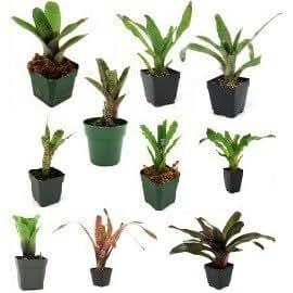 Bromeliad bundle - 10 plants