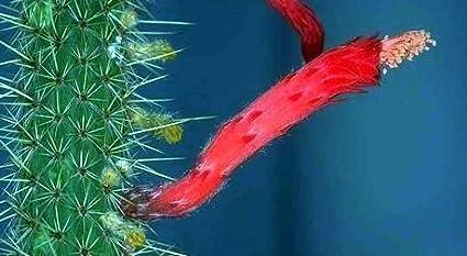 Amazon.com: Petardo Cactus 20 semillas – cleistocactus-easy ...