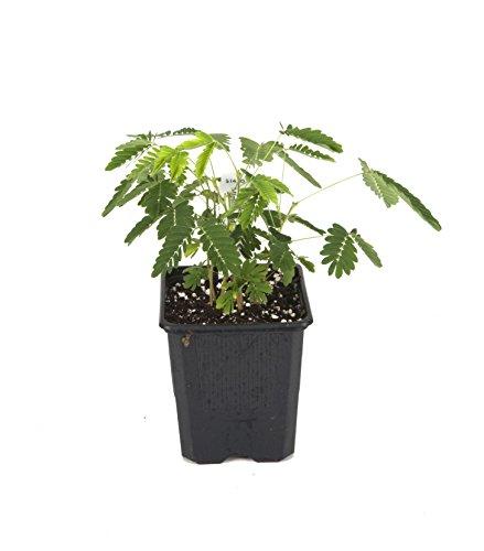 Sensitive Plant (Mimosa pudica) ()