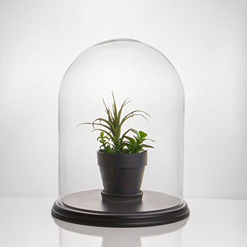 """CYS EXCEL Glass Dome, Decorative Display Case, Cloche Bell Jar Terrarium with Black Wood Base (15"""" Tall x 11.5"""" Wide)"""