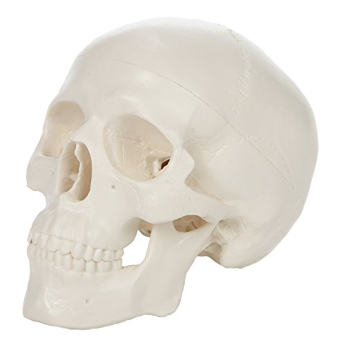 (Axis Scientific Miniature Human Skull Model | Mini Desktop Skull is Almost 4 Inches Tall and has a Removable Skull Cap and Jaw moveable | Includes Detailed Product Manual | 3 Year Warranty)