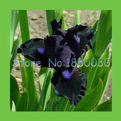 Red Orchid Plant Live Plant Mini 50PCS Classic Black + Blue Japanese Blue iris Flowers & DIY Home Garden Easy to Survive