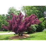 39 royal purple 39 smoke bush cotinus. Black Bedroom Furniture Sets. Home Design Ideas