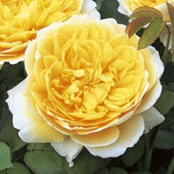 David Austin English Roses Charlotte