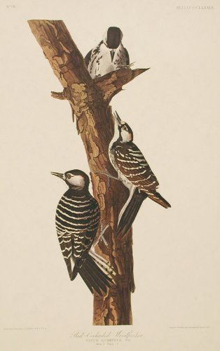 Red-Cockaded Woodpecker.''Birds of America'' (Amsterdam Edition) (Pl. 389) by