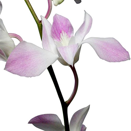 Dendrobium Orchids Light Pink by BloomsyBox