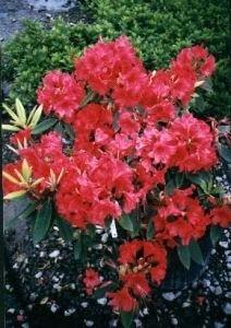 2 Litre Pot de fleurs de Rhododendron nain Axel Olson Scarlet Fleurs ...