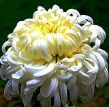 (Gerbera *Ambizu*) 50pcs/bag Gerbera Seeds,barberton Daisy Flower Garden,easy to Plant Salmon Pink Gerbera (923)