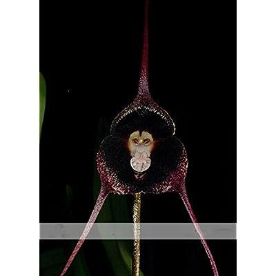 ADB Inc Dracula Pholeodytes Monkey Orchids the Cave-hiding Dracula Flower Seeds : Garden & Outdoor