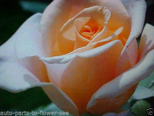 Fragrance Large Apricot Creme Rose Seeds This by Parahita Store