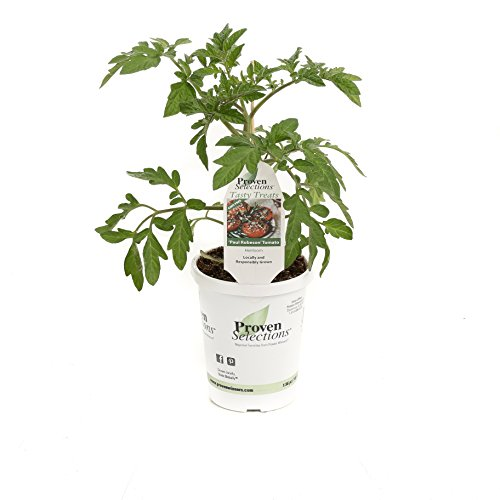 paul-robeson-heirloom-tomato-live-plant-vegetable-425-in-grande