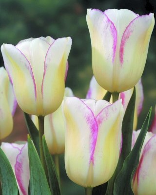 Blushing Girl Tulip Flower Seeds 50 Stratisfied Seeds