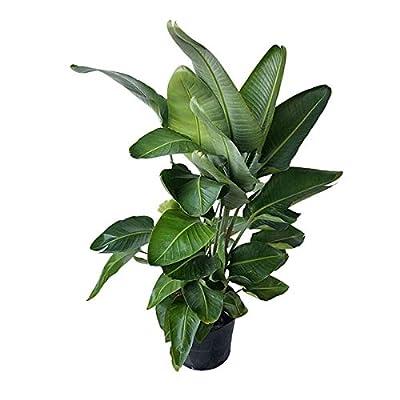 PlantVine Strelitzia nicolai, White Bird of Paradise - Extra Large - 12-14 Inch Pot (7 Gallon), Live Indoor Plant : Garden & Outdoor
