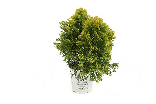 filips-magic-moment-arborvitae-thuja-live-evergreen-shrub-45-in-quart