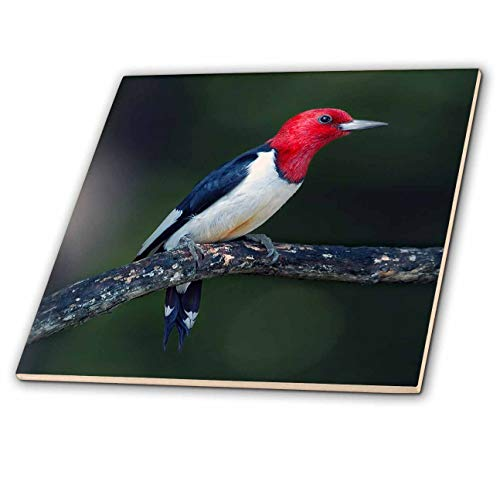 3dRose Stamp City - Birds - A red-Headed Woodpecker on The Branch of a Tree Posing for The Camera. - 6 Inch Ceramic Tile (ct_290777_2)