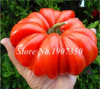 Big Beef & Hybrid Tomato Bonsai   Extra-Large & Extra-Meaty & Extra-Tasty Organic Fruit & Vegetable Bonsai (100 Pcs)