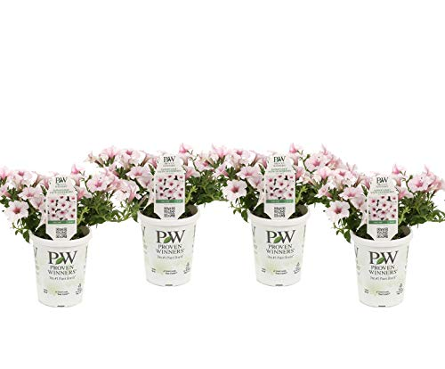 Proven Winners SUPPRW4027524 Petunia Live Plant, White ()