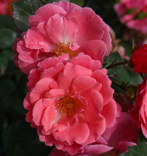 OSO EASY® Pink Cupcake Rose-Disease Resistant/Fragrant/Rebloomer-Proven Winners