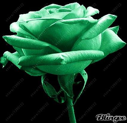Amazon com : 200 pcs/Bag Rose Seeds, Black Rose with White