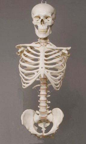Torso Prop - Skeleton Torso with Skull- life-size- 2nd class